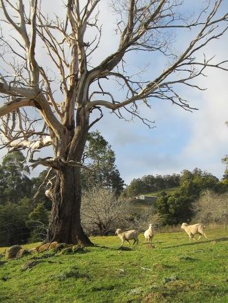 dead tree live sheep