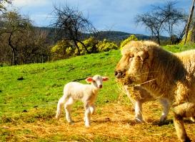 Twin lambs born