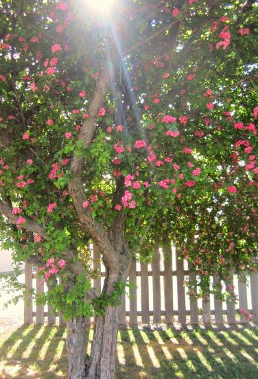 Pink Tree beam
